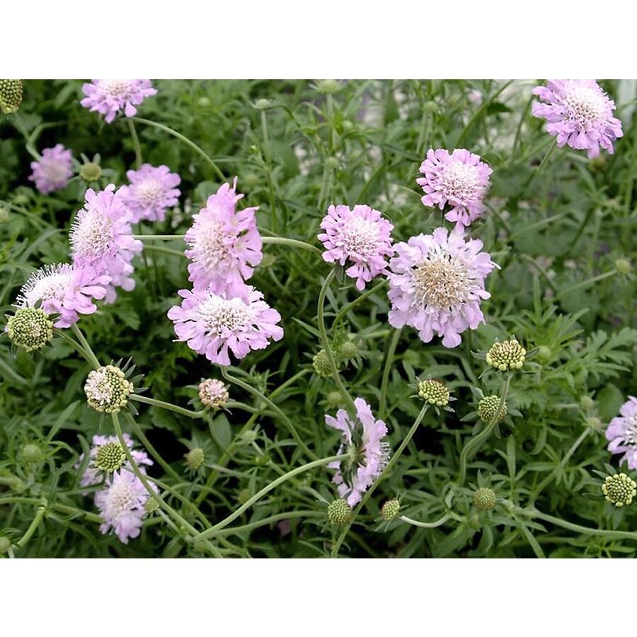 Monrovia 3-Quart Pink Mist Pincushion Flower