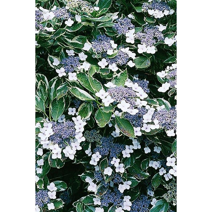 Monrovia 3.58-Gallon White Variegated Hydrangea Flowering Shrub
