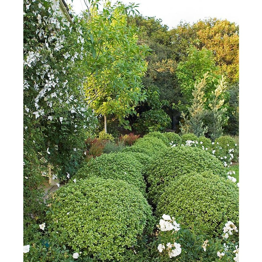 Monrovia Golf Ball Kohuhu P15329 Feature Shrub In Pot With Soil