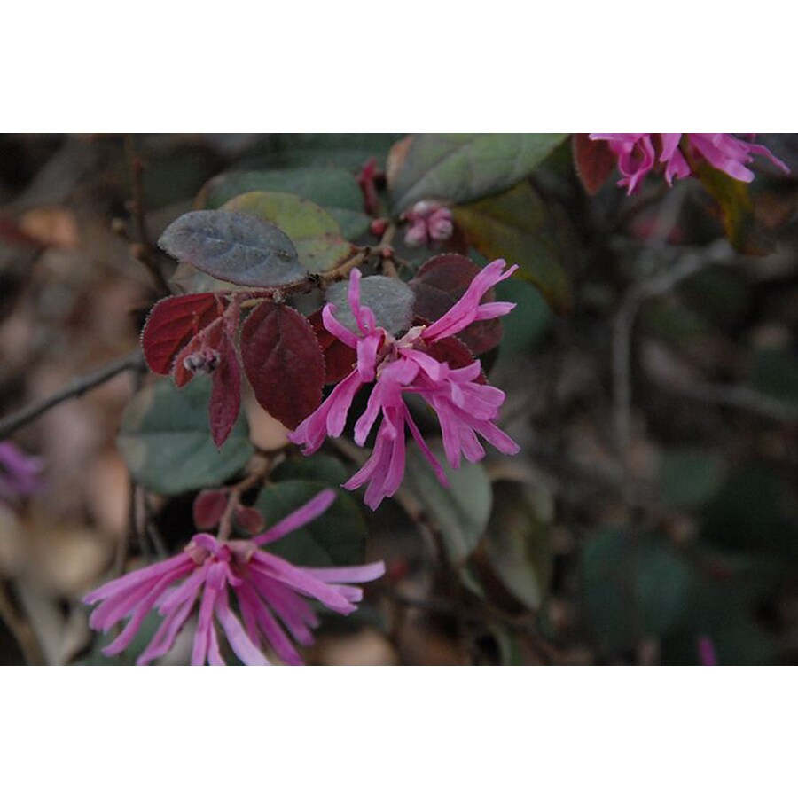 Monrovia 2.6-Quart Pink Suzanne Fringe Flower Flowering Shrub