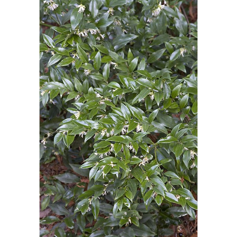 Shop Monrovia White Fragrant Sweet Box Flowering Shrub In Pot With