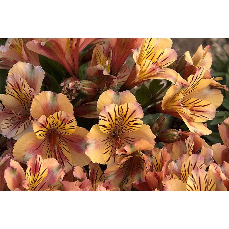 Monrovia 1.6-Gallon Princess Lilies Sara