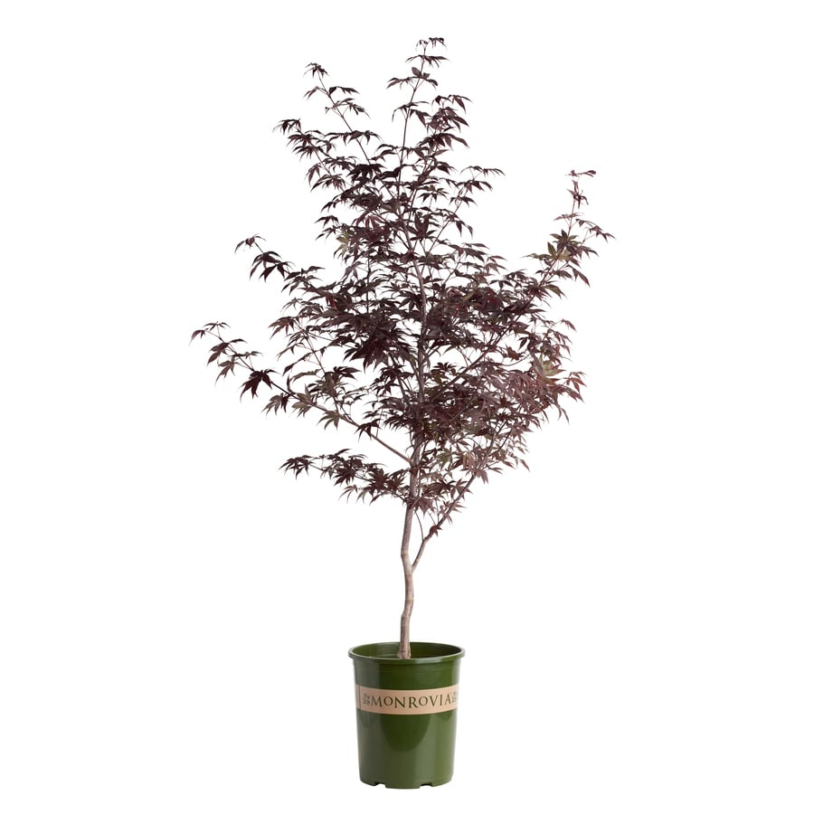 Monrovia 3.58-Gallon Emperor I Japanese Maple Feature Tree (Lw00234)