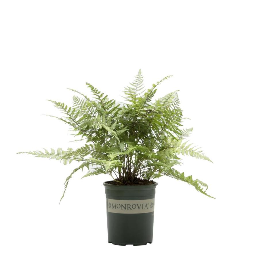 Monrovia 3-Quart Ghost Fern