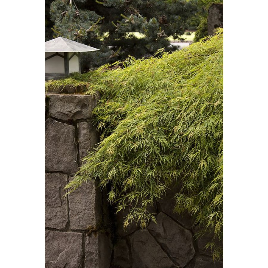 Monrovia 3.58-Gallon Waterfall Japanese Maple Feature Tree (L28220)