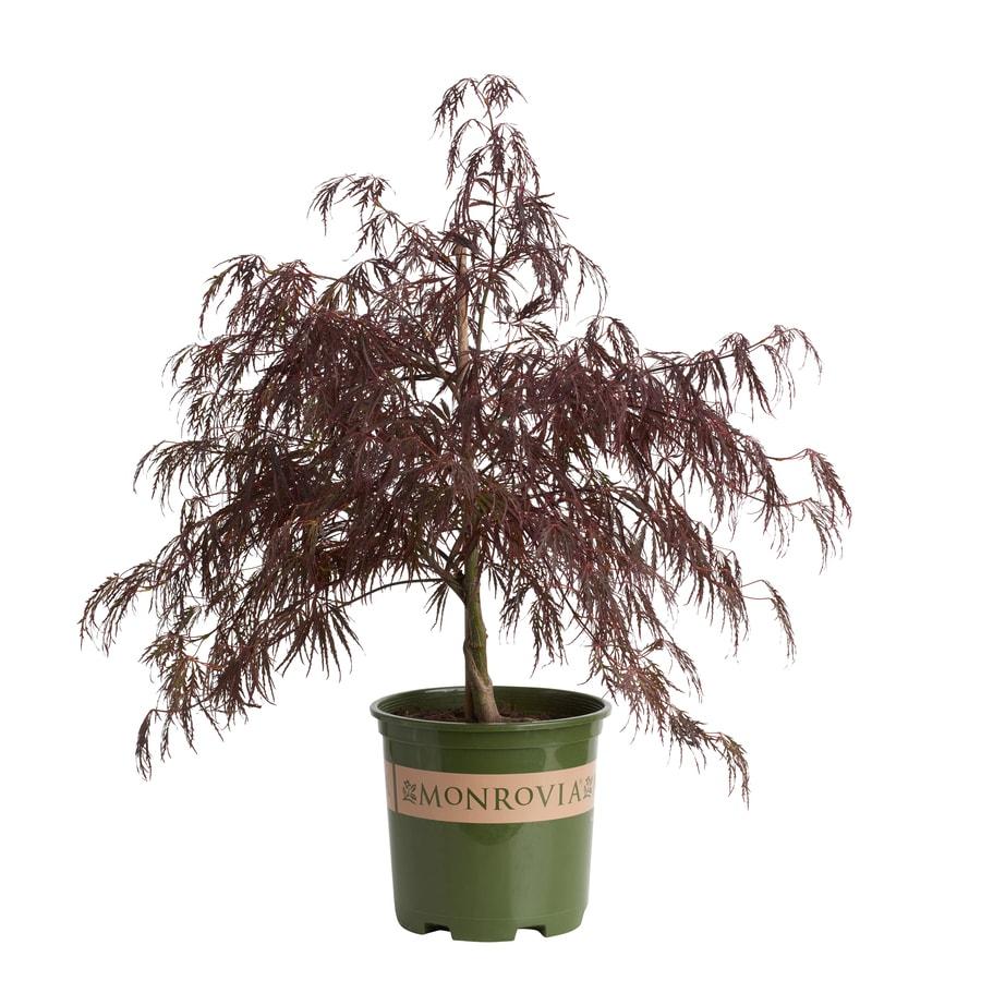 Monrovia 16 Gallon Purple Crimson Queen Japanese Maple Feature Tree