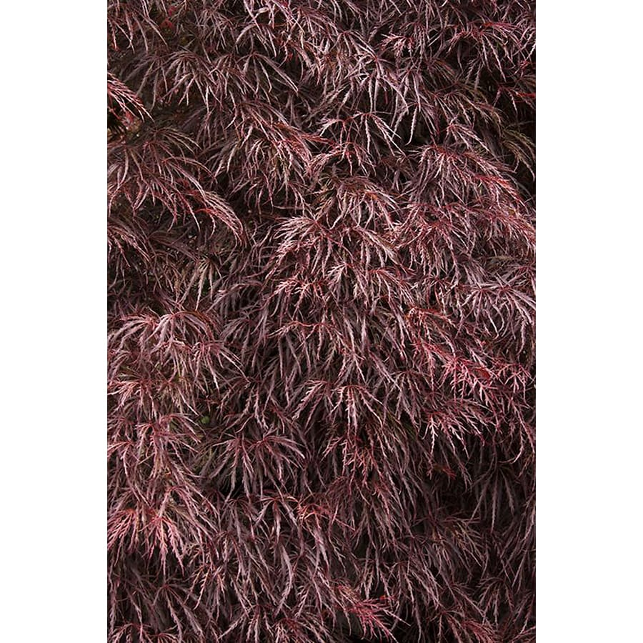 Monrovia 3.58-Gallon Crimson Queen Japanese Maple Feature Tree (L4164)