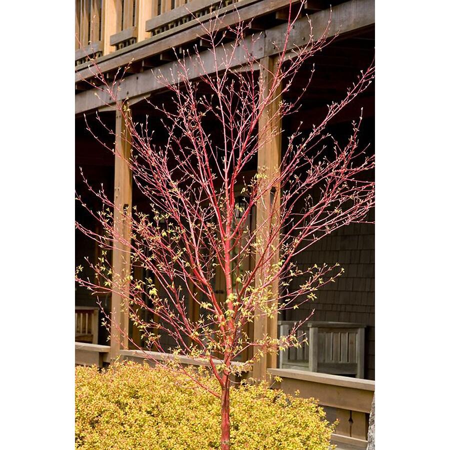 Monrovia 3.58-Gallon Coral Bark Japanese Maple Feature Tree (L7231)
