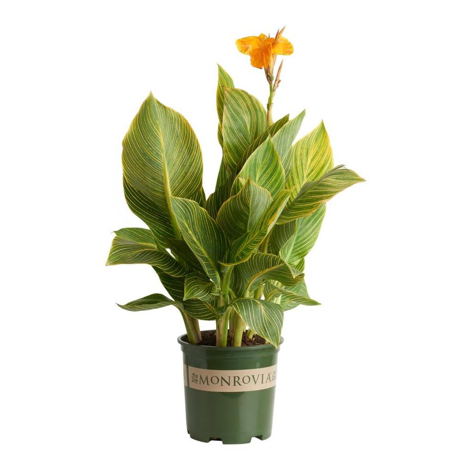 Monrovia 1.6-Gallon Tropicanna Gold Canna
