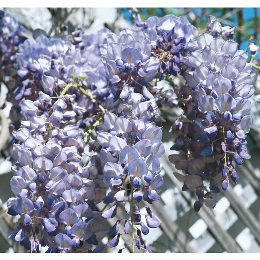 Monrovia 3.6-Gallon Blue Moon Wisteria Plant (LW00713)