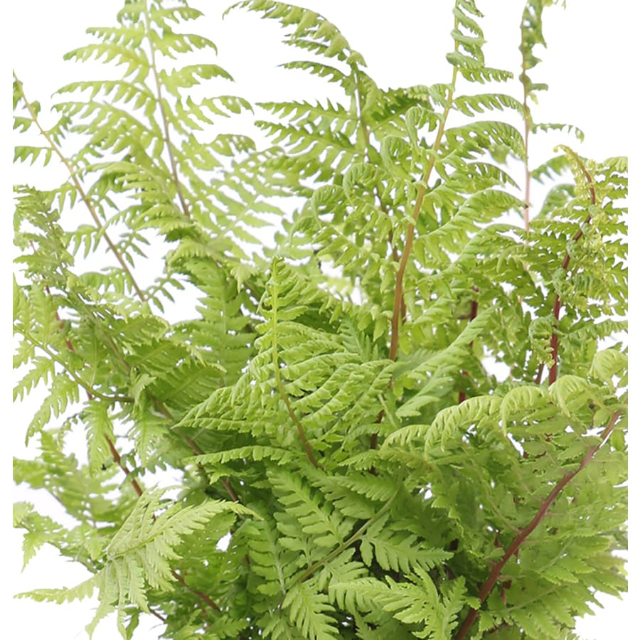 Monrovia 1-Gallon Lady In Red Fern