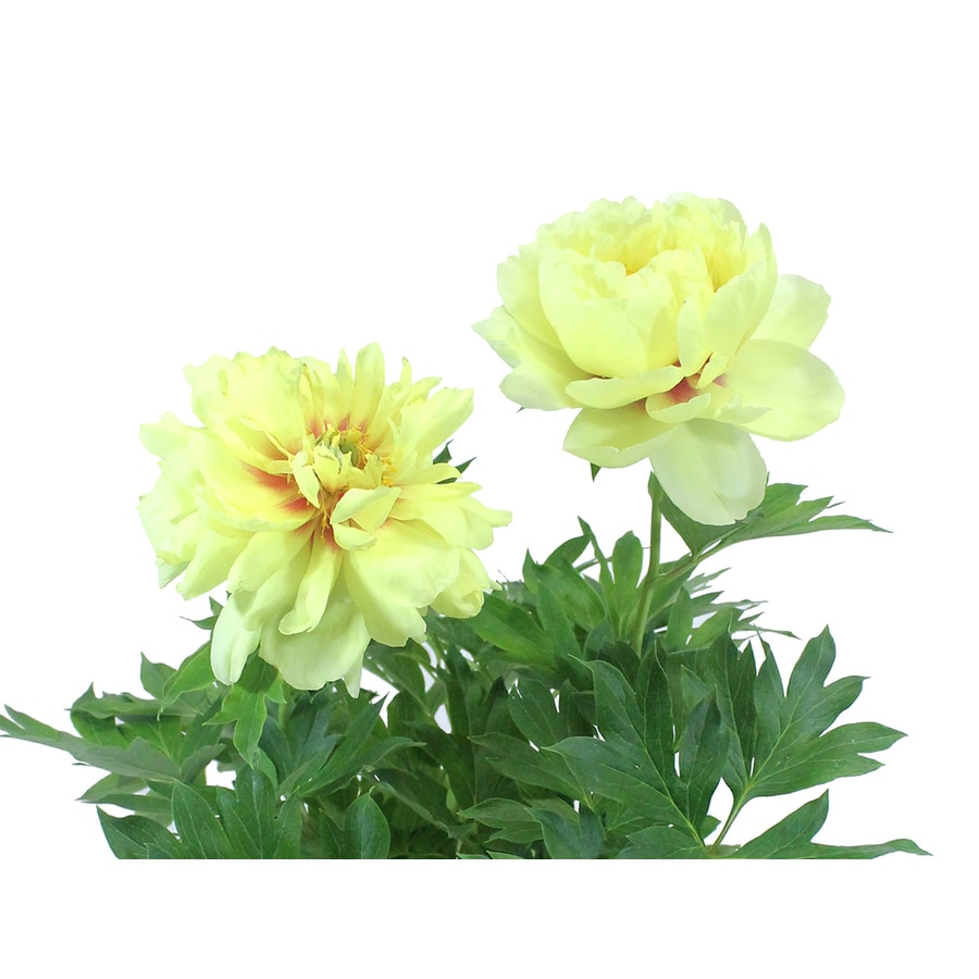 Monrovia 1-Gallon Bowl of Beauty Peony