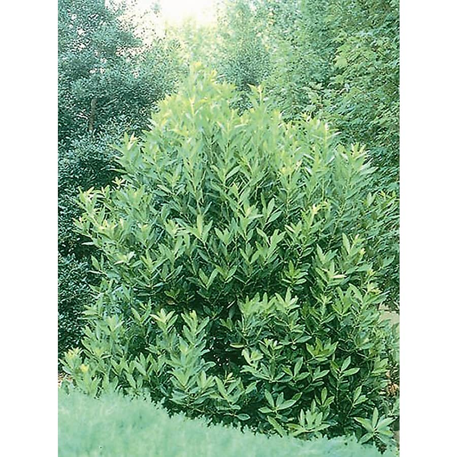 Shop Monrovia Yellow Anise Tree Flowering Shrub In Pot With Soil