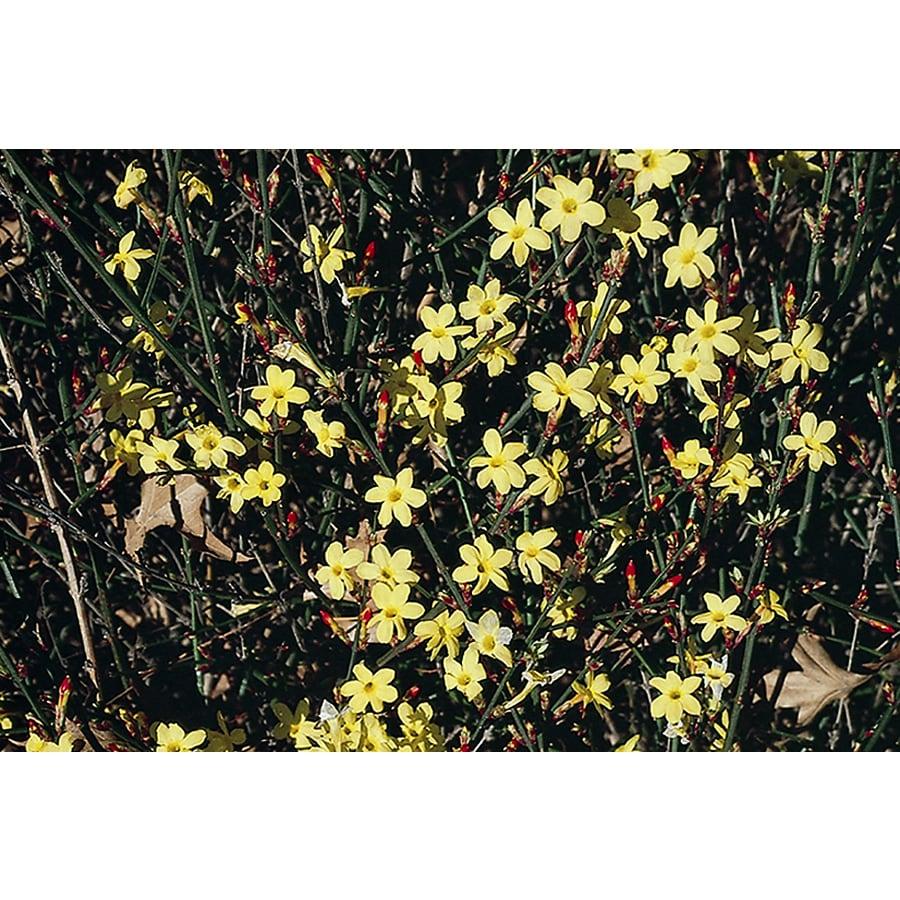 Monrovia 2.6-Quart Yellow Winter Jasmine Flowering Shrub