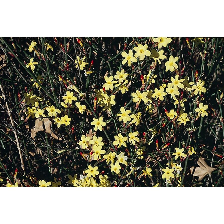 Shop Monrovia 28 Gallon Yellow Winter Jasmine Flowering Shrub At