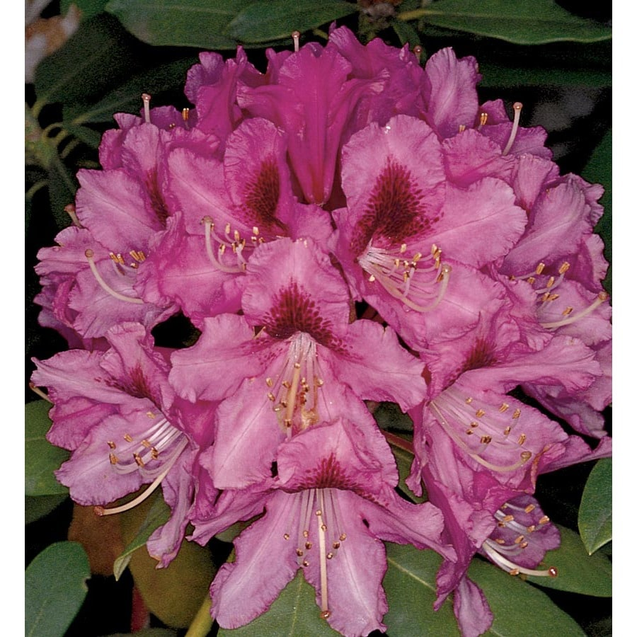Monrovia 1.6-Gallon Pink Slam Dunk Rhododendron Flowering Shrub (L24356)