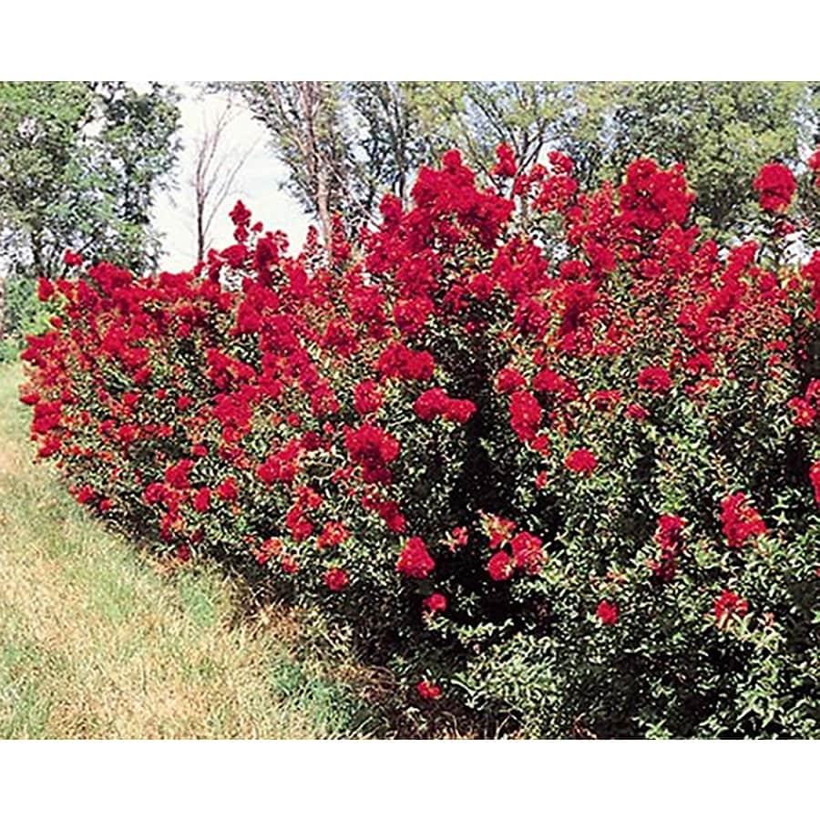 Monrovia 3.58-Gallon Dynamite Crape Myrtle Flowering Tree