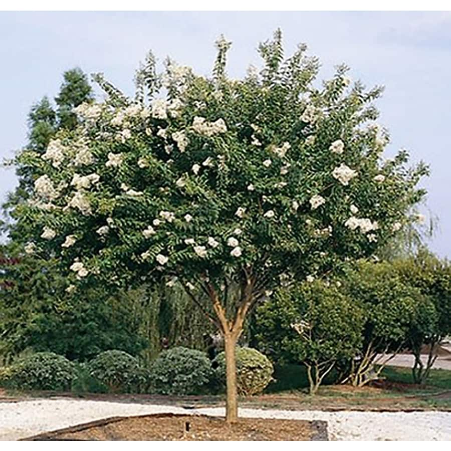 Monrovia 3.58-Gallon Natchez Crape Myrtle Flowering Tree