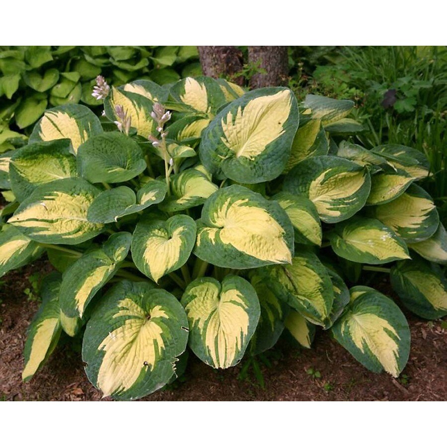 Monrovia 2.6-Quart Great Expectations Plantain Lily