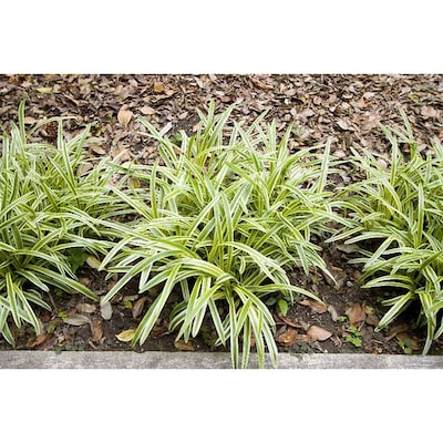 Monrovia 3 Quart In Pot Variegated Lilyturf At Lowes Com