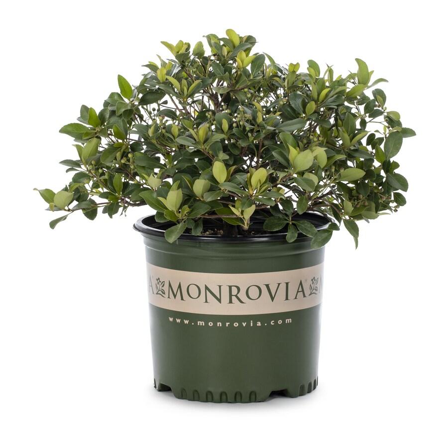 Monrovia 2.8-Gallon White Snowcap Indian Hawthorn P15544 Flowering Shrub