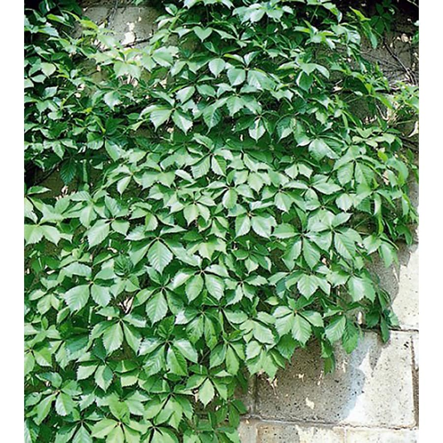 Monrovia 2.6-Quart Virginia Creeper