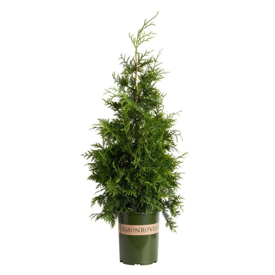 Monrovia 3.58-Gallon Green Giant Western Arborvitae Screening Shrub