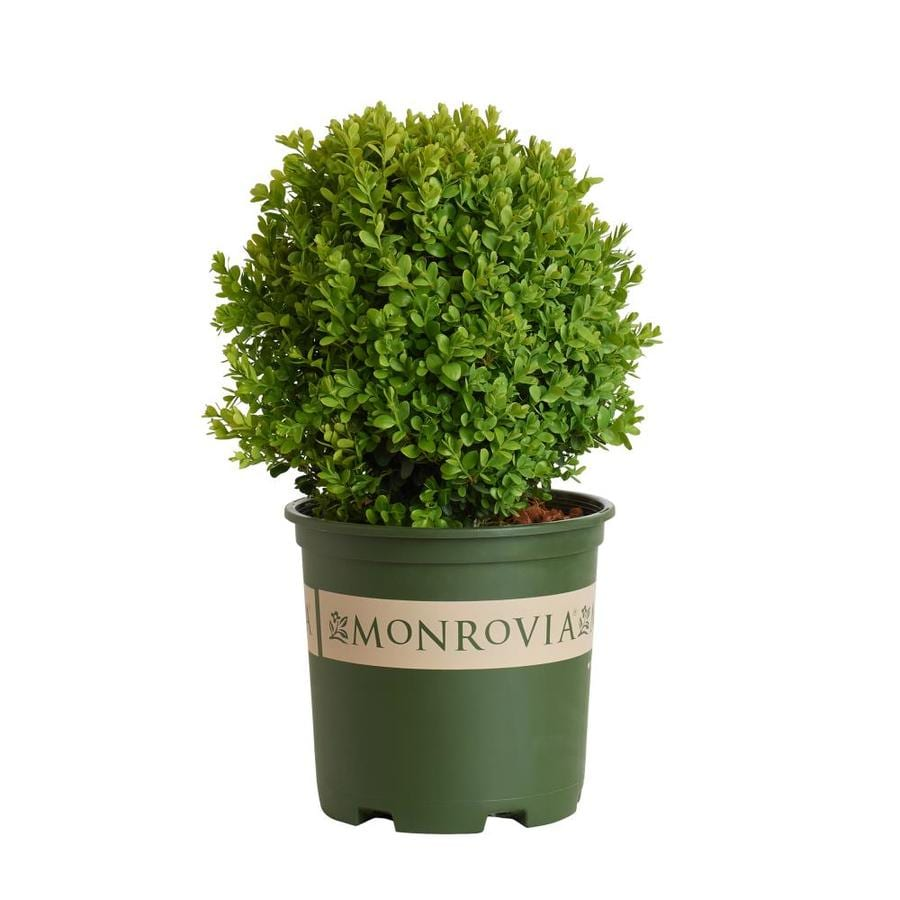 Monrovia 1.6-Gallon Dwarf English Boxwood Foundation/Hedge Shrub