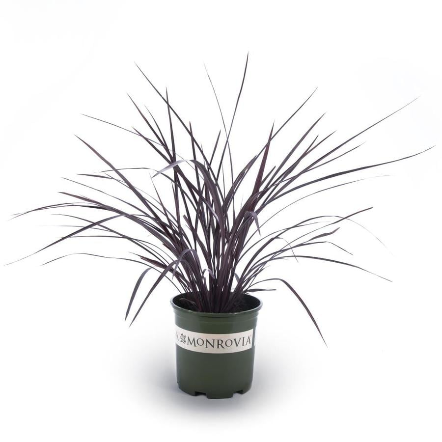 Monrovia 1.6-Gallon Cordyline Festival Grass
