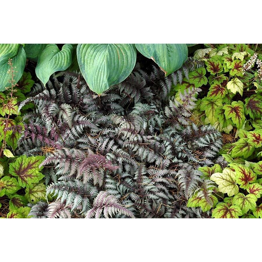 Monrovia 3-Quart Burgundy Lace Painted Fern P15072