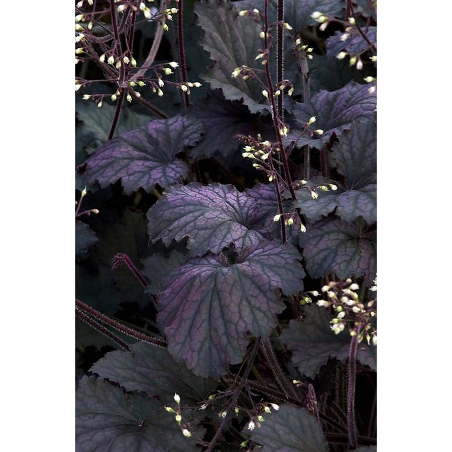 Monrovia 3-Quart Frosted Violet Coral Bells P15085