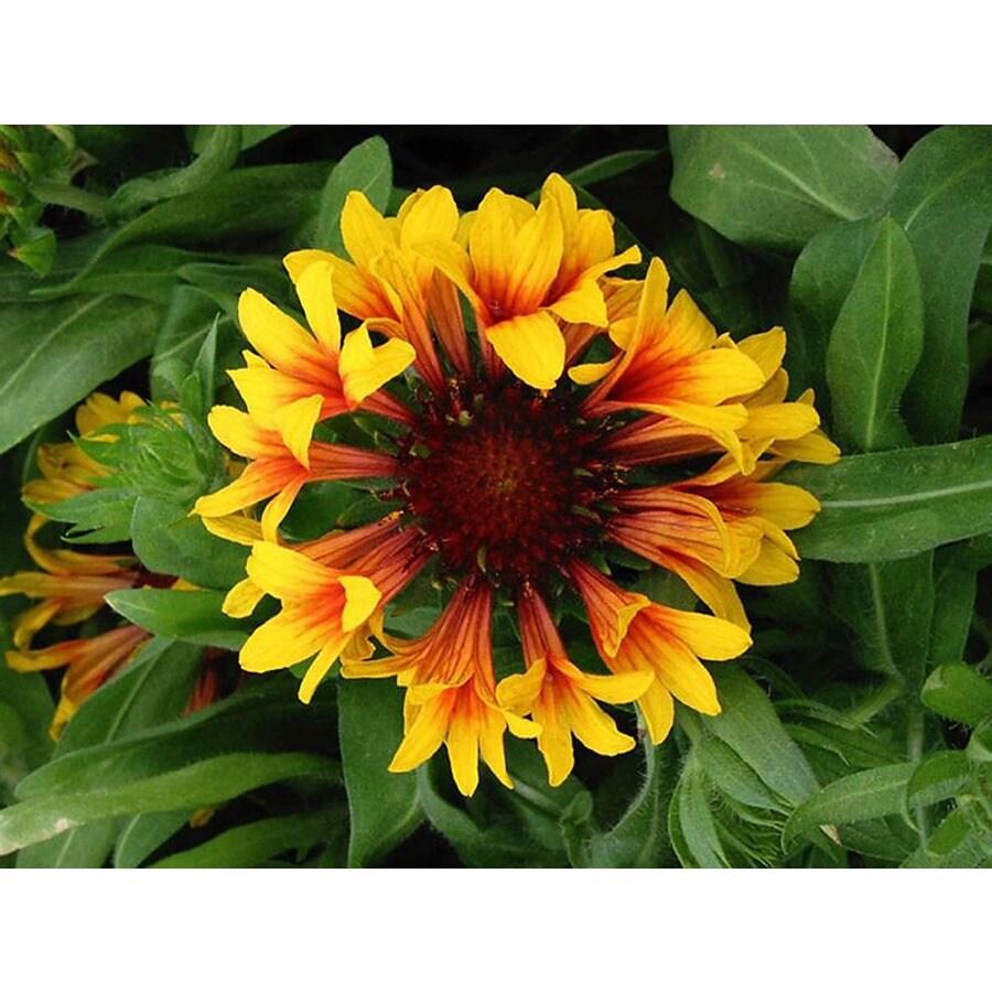Monrovia 3-Quart Fanfare Blanket Flower P15982