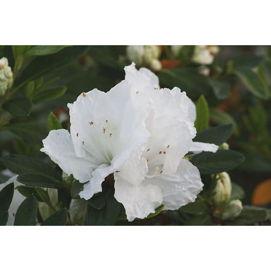Monrovia 1.6-Gallon White Alaska Azalea Flowering Shrub