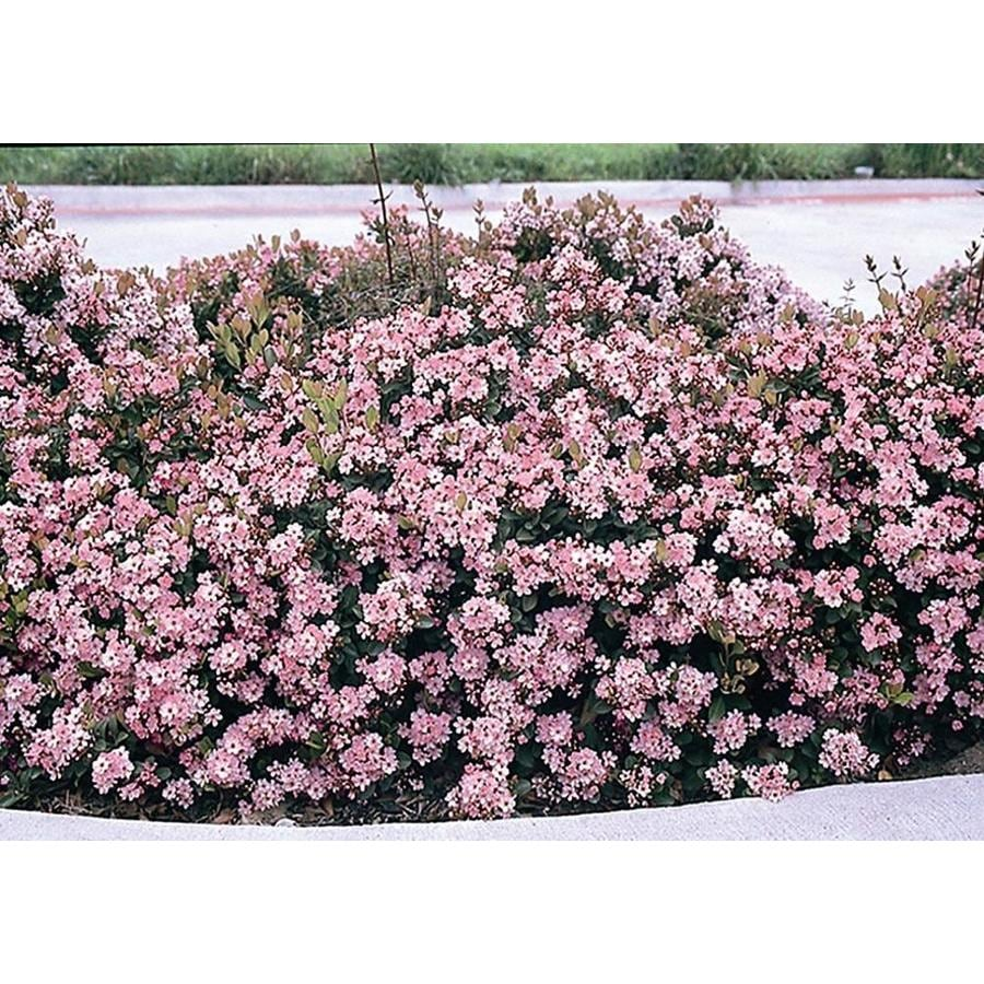 Monrovia 2.8-Gallon Pink Eleanor Taber Indian Hawthorn Flowering Shrub
