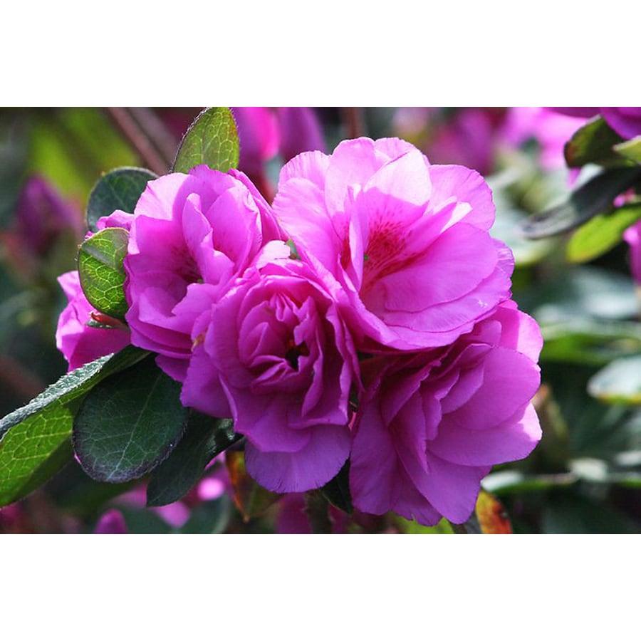 Monrovia 2.6-Quart Purple Happy Days Azalea Flowering Shrub