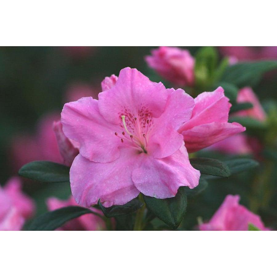 Monrovia 2.6-Quart Pink Mistral Azalea Flowering Shrub