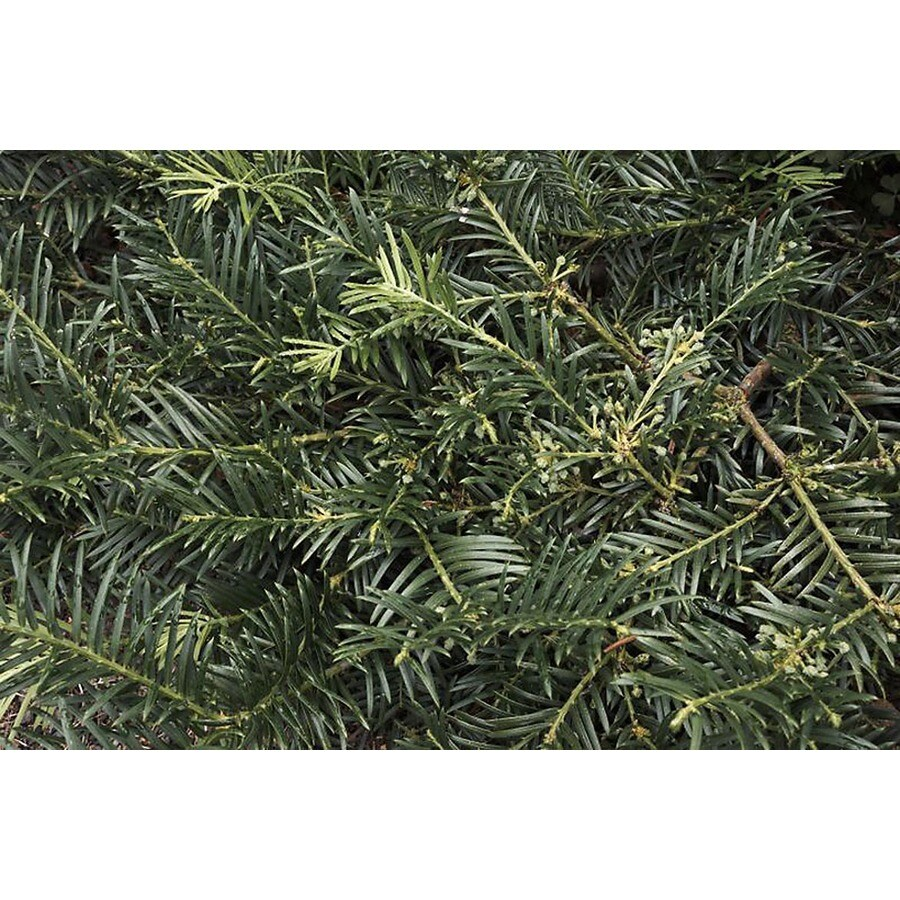 Monrovia 3.58-Gallon Duke Gardens Japanese Plum Yew Foundation/Hedge Shrub