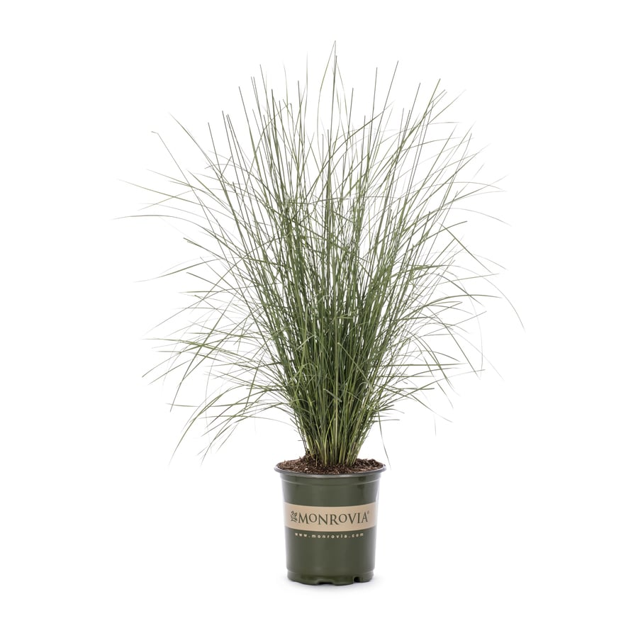 Monrovia 3-Quart Regal Mist Pink Muhly