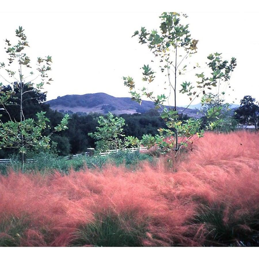 Monrovia 1.6-Gallon Regal Mist Pink Muhly