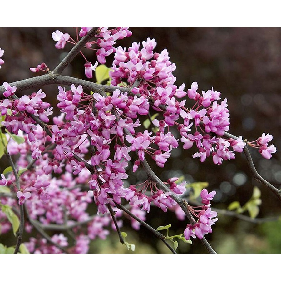 Monrovia 3.58-Gallon Lavender Twist Redbud Flowering Tree (L14485)