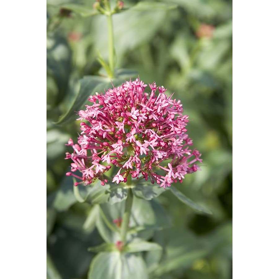 Monrovia 2.6-Quart Red Valerian