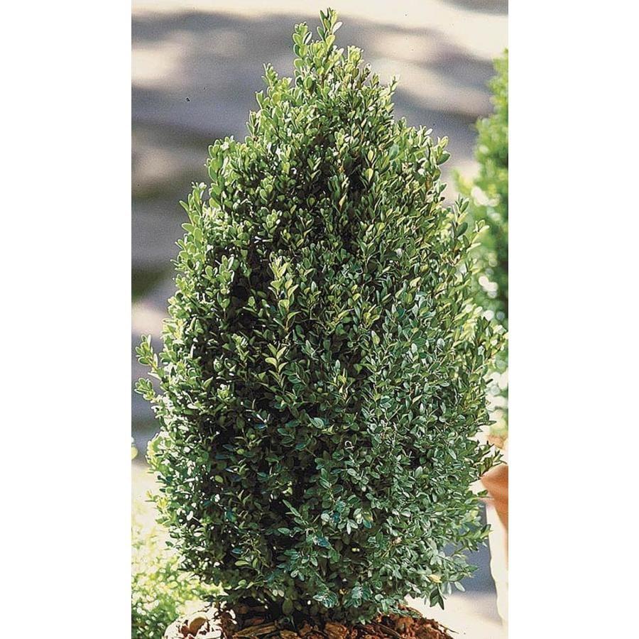 Monrovia 3.58-Gallon Yellow Green Mountain Pyramidal Boxwood Feature Shrub (L24375)