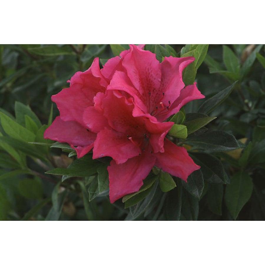 Monrovia 2.6-Quart Red Brilliant Azalea Flowering Shrub