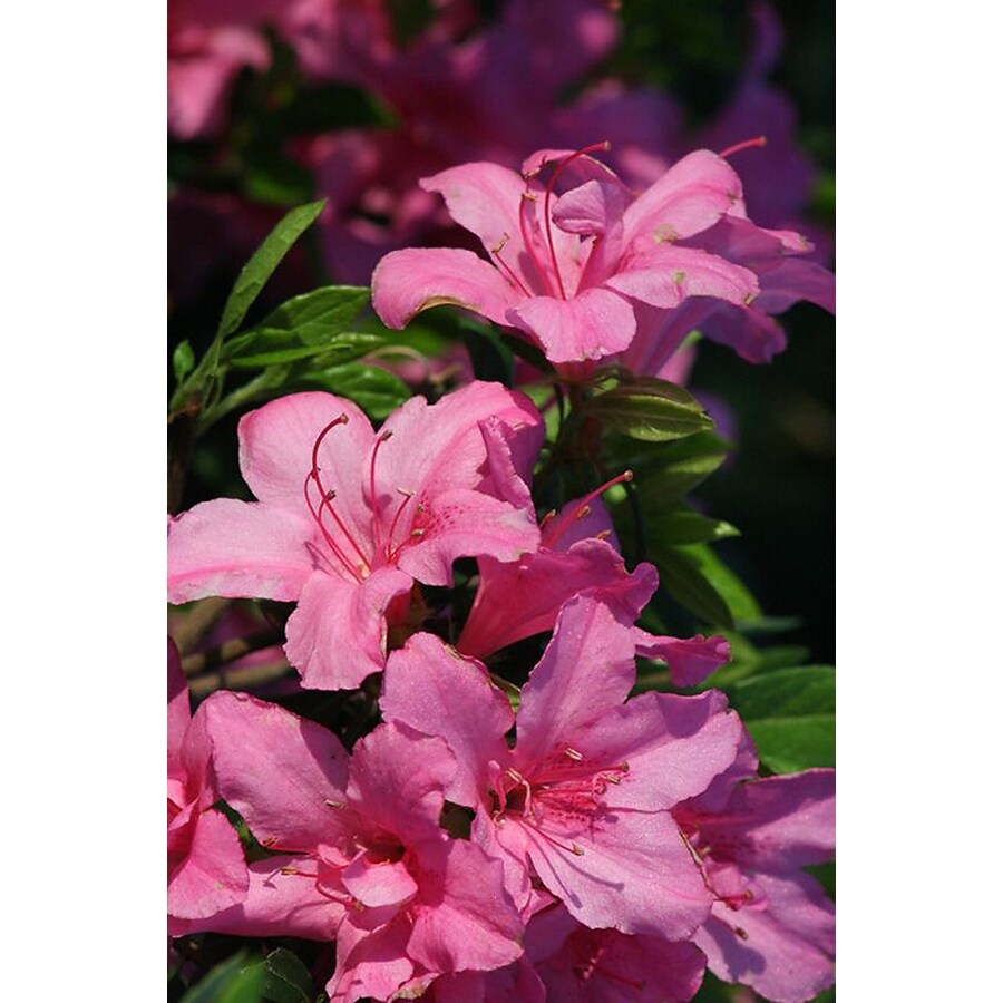 Monrovia 2.6-Quart Pink Imperial Princess Azalea Flowering Shrub
