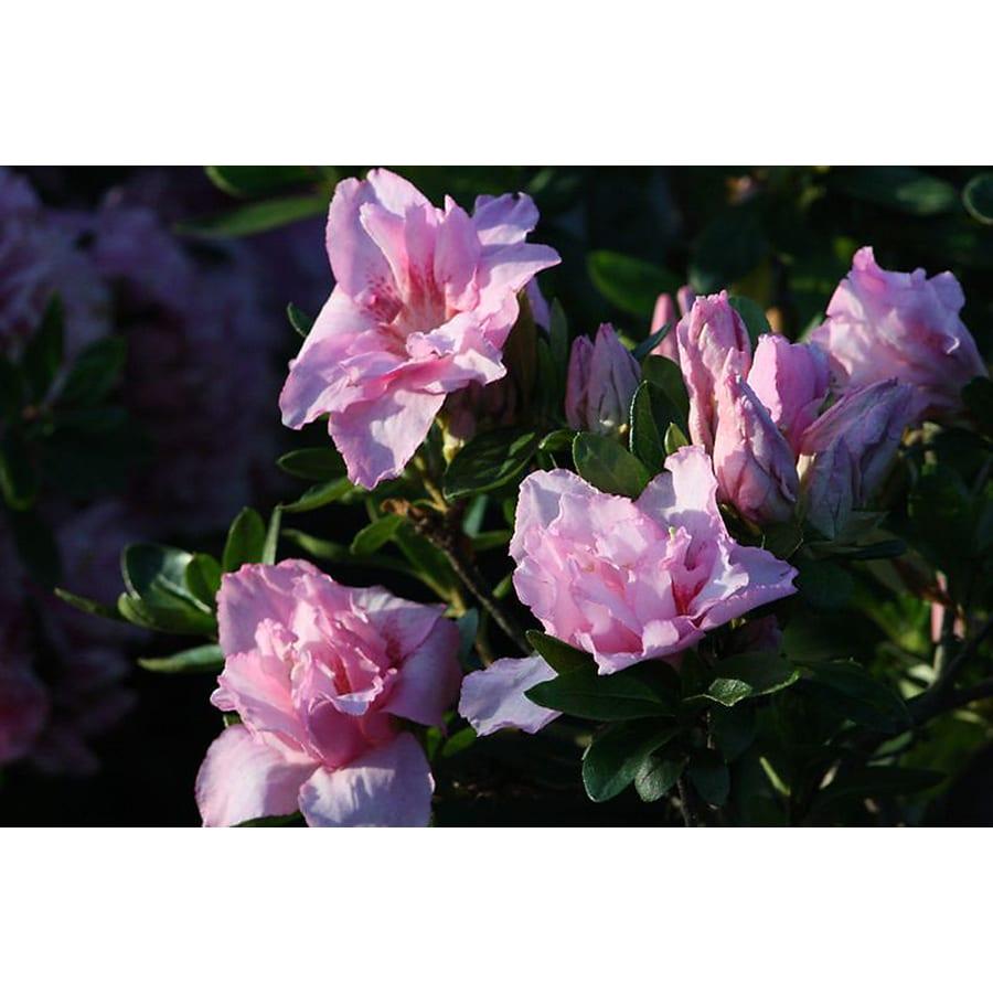 Monrovia 1.6-Gallon Pink Imperial Queen Azalea Flowering Shrub