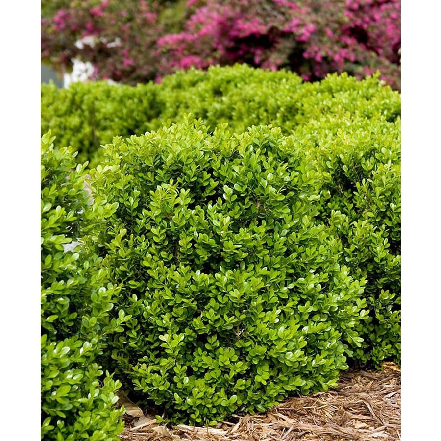 Monrovia 3.58-Gallon Faulkner Boxwood Globe Foundation/Hedge Shrub