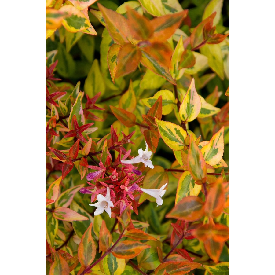 Monrovia 1.6-Gallon White Kaleidoscope Abelia Accent Shrub