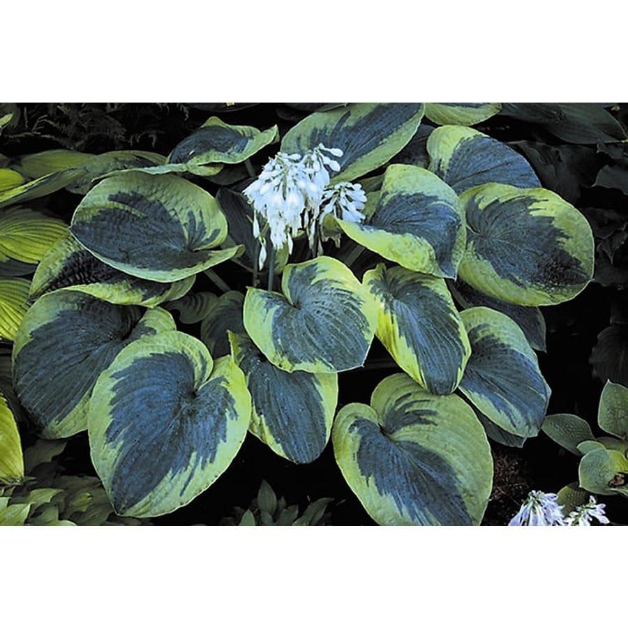 Monrovia 3-Quart Olive Bailey Langdon Plantain Lily