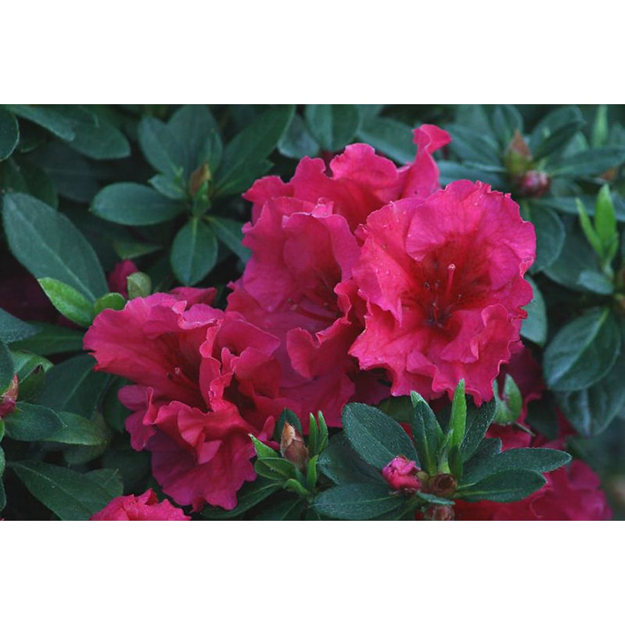 Monrovia 1.6-Gallon Red Red Ruffles Azalea Flowering Shrub