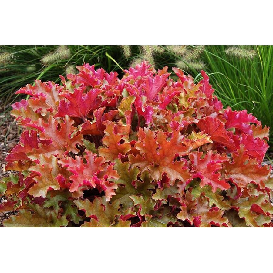 Monrovia 2.6-Quart Marmalade Coral Bells P15945
